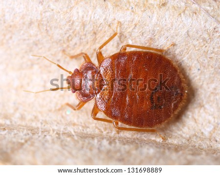 Close up adult cimex lectularius on corrugated recycled paper, bedbug, blood sucker - stock photo