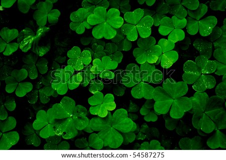 Close up aerial view of a patch of green clovers with  wet water dew drops. - stock photo