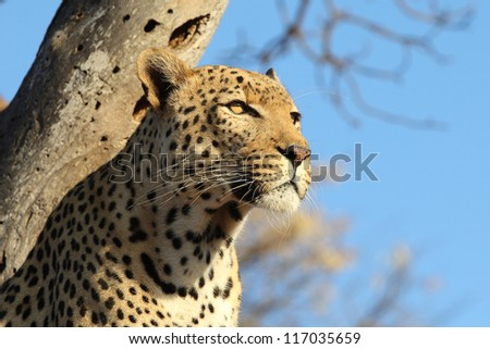 Close-up African Leopard in tree looking straight out for prey - stock photo