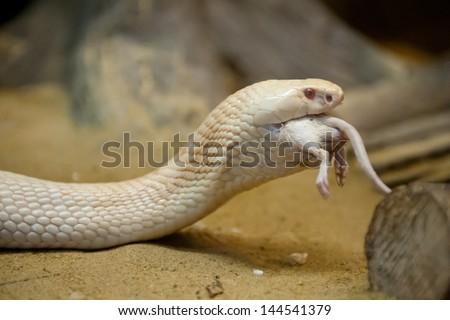 Close up Albinos monocled cobra - Naja kaouthia (poisonous),Eat rat - stock photo