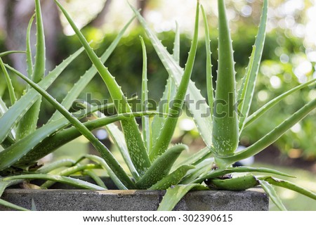 Close up Aloe Vera Plant, outdoor pots - stock photo