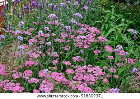 Close up an attractive and colourful flower border with Achillea millefolium Pink Grapefruit, Verbena Lollipop and Veronica Purpleicious