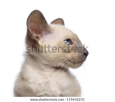Close-up an Oriental Shorthair kitten, 9 weeks old, looking away against white background - stock photo
