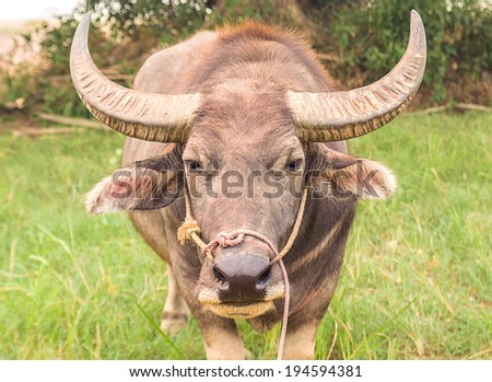 Close up Asian buffalo in the field - stock photo