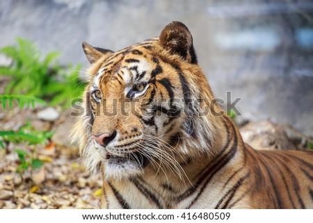 Close-up at the head tiger - stock photo