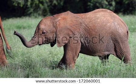 Close up Baby elephant Samburu - stock photo