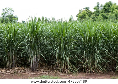 Close-up background leaves of sugarcane, which is grown for harvesting agricultural crops.