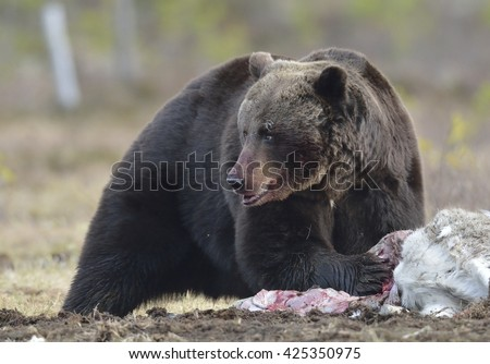 Close up  Bear portrait with the blood-stained muzzle. Brown Bear (Ursus arctos) male on the bog in spring forest. - stock photo