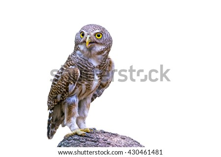 Close up beautiful bird  Asian Barred Owlet (Glaucidium cuculoides) is a species of true owl standing on branch isolated on white background.Saved with clipping path. - stock photo