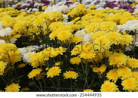 Close up beautiful chrysanthemums flowers on the garden - stock photo