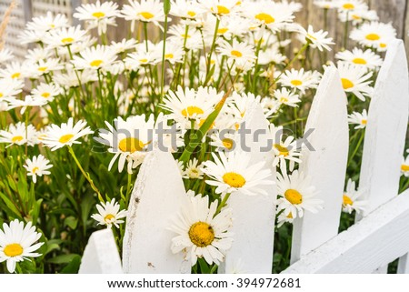 Close-up beautiful daisies flowers blooming at white picket fence in a yard at rural Sequim, Washington, USA. Daisy in the field, cottage garden. Nature flower background and summer concept.Warm light - stock photo