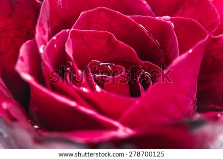 Close-up beautiful dark red rose with water drop