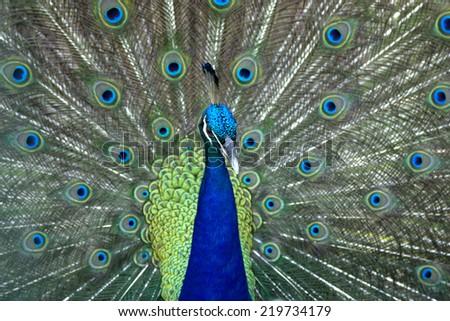 Close up beautiful green peacock - stock photo