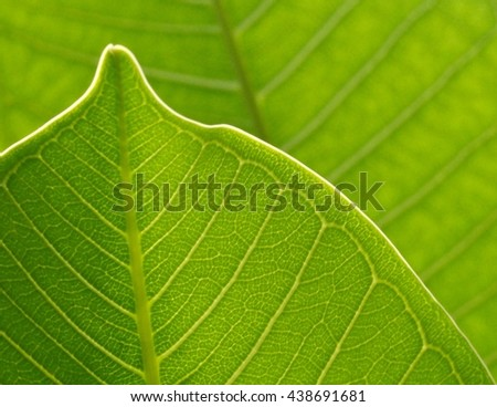 close up:beautiful leaf with sunlight in the morning