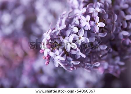 Close-up beautiful lilac flowers - stock photo
