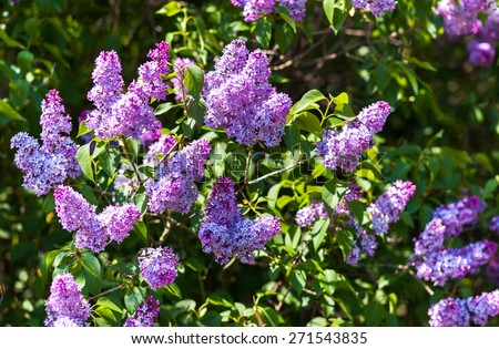 Close-up beautiful lilac flowers with the leaves. Beauty world. - stock photo
