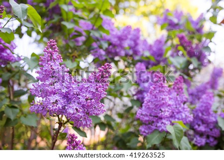Close-up beautiful lilac flowers with the leaves. Beauty world.