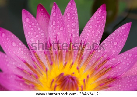 Close up beautiful pink water lily blooming in the lake as background ,abstract of water drop on the water lily  - stock photo