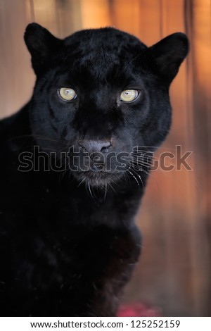 Close-up beautiful portrait black leopard - stock photo