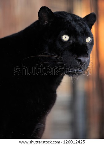 Close-up beautiful portrait black leopard - stock photo