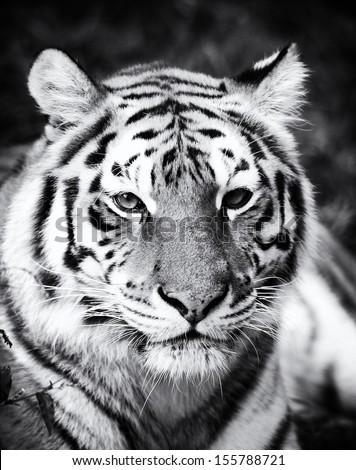 Close-up beautiful portrait tiger - stock photo