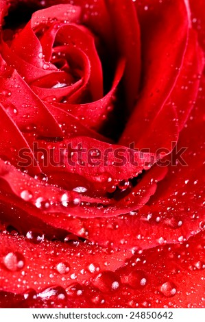 close-up beautiful rose with water drops