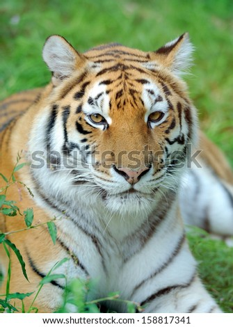 Close-up beautiful tiger in grass - stock photo