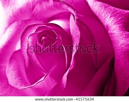 close-up beautiful violet pink rose - stock photo
