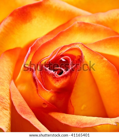 close -up beautiful yellow-red rose - stock photo