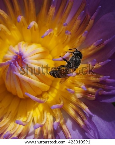 close up bee foraging on purple lotus flower - stock photo