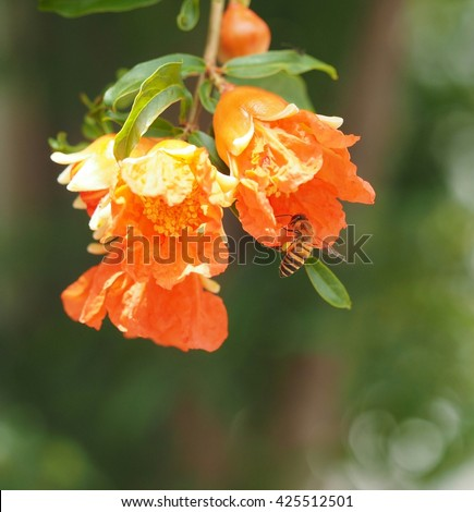 close up bee foraging on red flower of pomegranate tree nature background - stock photo