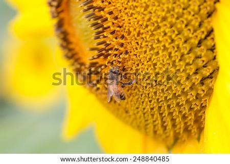 Close-up Bee on sunflower - stock photo