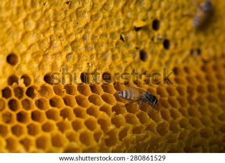 close up bees (Apis florea) work on honeycomb - stock photo