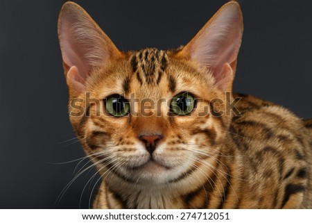Close-up Bengal Cat Looking in Camera on Black Background  - stock photo