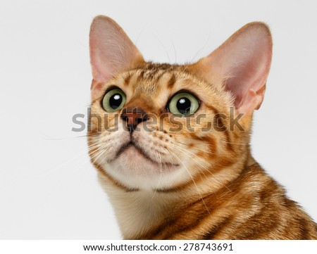 Close-up Bengal Cat Looking Up on White Background - stock photo