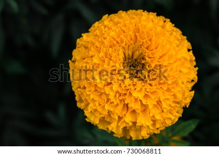 Close big fresh yellow marigold flower stock photo royalty free close up big and fresh yellow marigold flower blooming on tree in the garden mightylinksfo