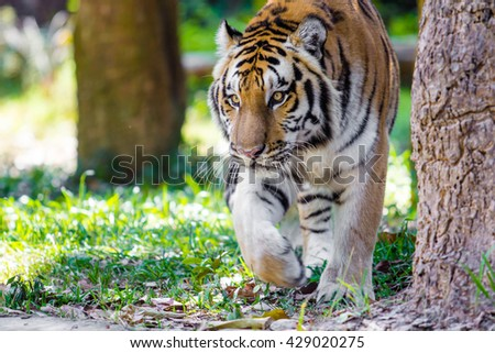 close up Big Bengal Tiger in the zoo - stock photo