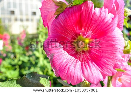 Close big pink flowers blooming leaves stock photo 100 legal close up big pink flowers blooming with leaves green yellow star inside and the mightylinksfo