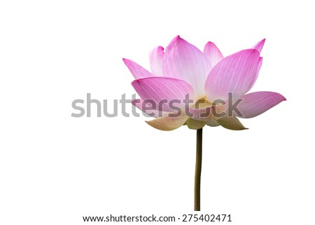 Close-up big pink lotus isolate on white background with clipping path.