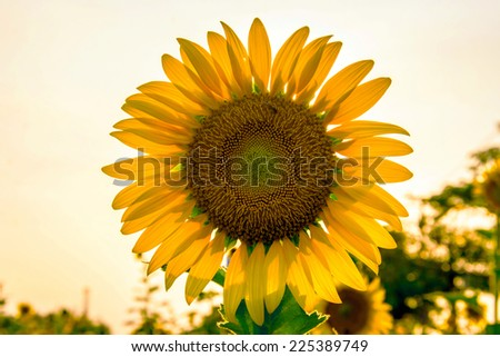 close up big yellow sunflower on field in evening time - stock photo