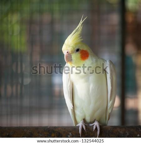 Close-up bird Nymphicus hollandicus. - stock photo