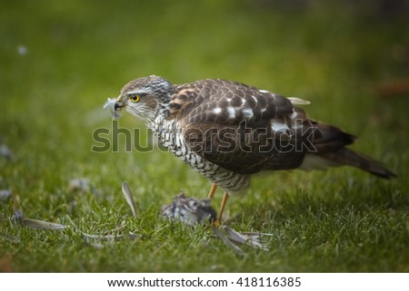 Close-up bird of prey Eurasian sparrowhawk, Accipiter nisus, sitting on green grass, feeding on successful catch, house sparrow in claws. A few feathers around, blurred background. Winter, Europe. - stock photo