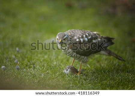 Close-up bird of prey Eurasian sparrowhawk, Accipiter nisus, sitting on green grass, staring at camera, feeding on house sparrow in claws. A few feathers around, blurred background. Autumn, Europe. - stock photo