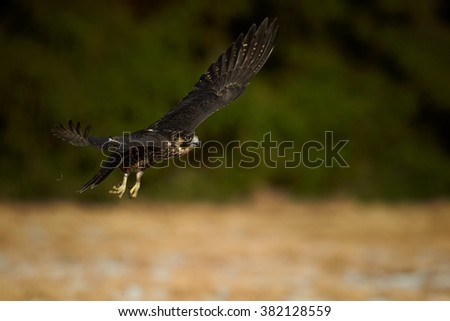 Close up bird of prey Peregrine falcon, Falco peregrinus flying with fully outstretched wings over winter meadow against dark green,blurred background. Europe, Czech republic. Front view. - stock photo