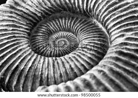 Close up Black and white image of the whirls of an ammonite fossil