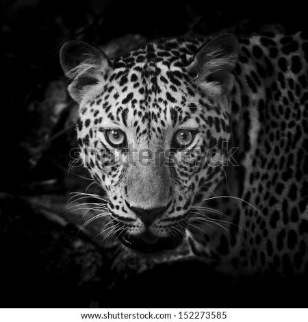 close up Black and White Leopard Portrait - stock photo