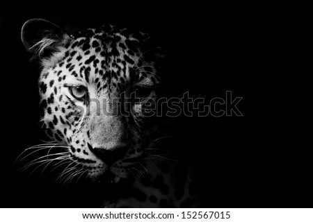 close up Black and White Leopard Portrait - stock photo
