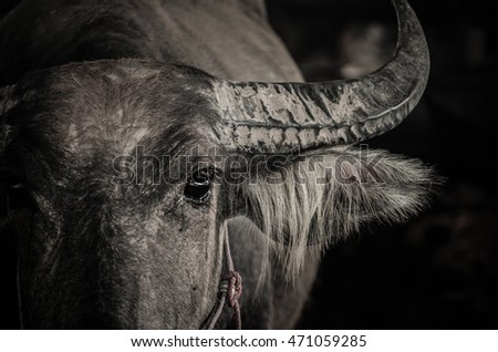 Close up black and white portrait of cape buffalo head and horn in thailand