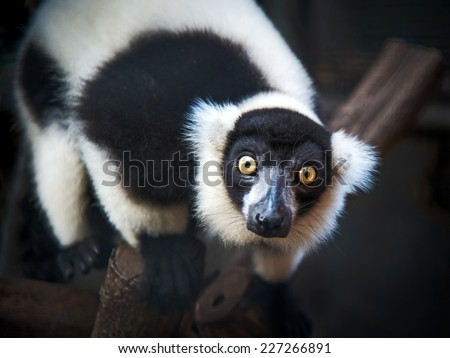Close-up black-and-white ruffed lemur - stock photo