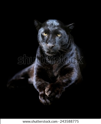 Close-up black leopard on dark background - stock photo